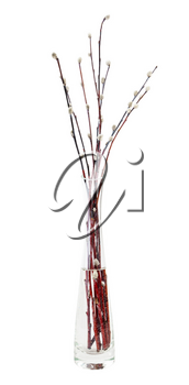 twigs of pussy willow in glass vase isolated on white background
