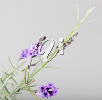 Close-Up Of Lavender Flower Against White Background