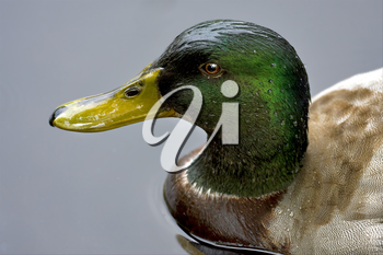 a duck whit a green head in the grey