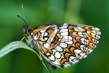 a brown butterfly resting in a leaf