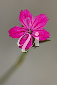 macro close of  a violet pink geranium dissectum cariofillacee in green background
