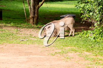 blur in south africa   kruger  wildlife    nature  reserve and  wild  warthog