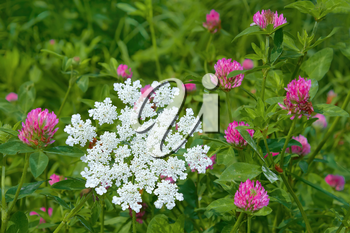 Clover and plant of Apiaceae family flowering in a meadow
