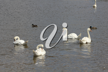 Duck and white swans flock on pond 8433