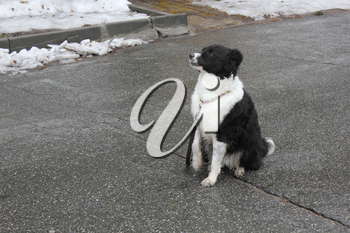 Black and white dog sitting on its hind legs on the asphalt 30347