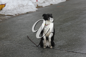 Black and white dog sitting on its hind legs on the asphalt 30349