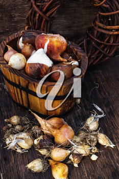 Bulbs of plants on the background of wooden tubs in  rural style.