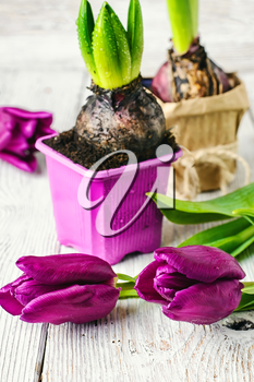 Seedling bulbs of hyacinth and tulips on a light background