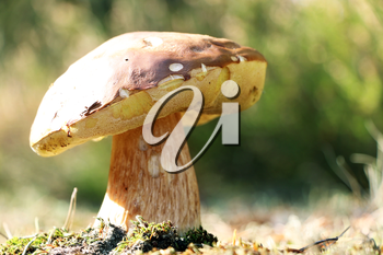 Large boletus growth in sunny forest. White mushroom fungus grow in autumn wood. Beautiful edible cep in sun rays