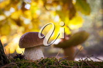Porcini mushrooms in sunny wood. Autumn mushrooms grow in forest. Natural raw food growing. Edible cep, vegetarian natural organic meal