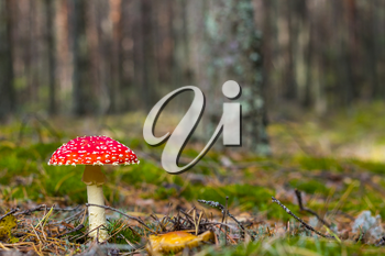 Red fly agaric mushroom grows. Beautiful season plant growing in nature