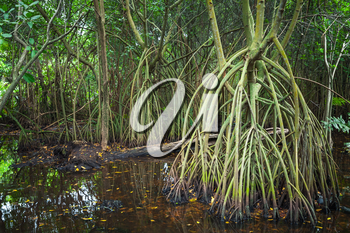 Wild dark tropical forest landscape, mangrove trees growing in the water