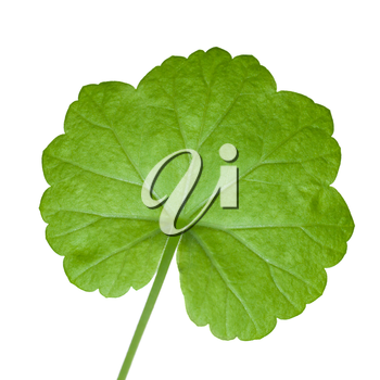 Closeup photo of fresh green geranium leaf isolated on white