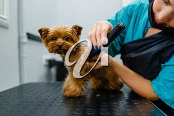 Female groomer with polishing machine works with cute dog, grooming salon. Woman with small pet on haircut procedure, groomed domestic animal