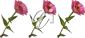 Flower Zinnia Low Poly Isolated on White Background, Symbolic and Realistic Options. Vector