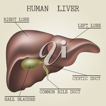 Human liver anatomy illustration drawn in vintage encyclopedia style