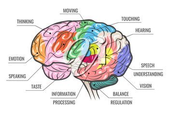 Human brain areas functional map isolated on white. Vector illustration.