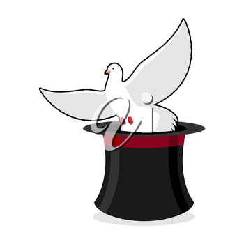 Dove and hat magician. Black cylinder illusionist and a white pigeon. Focus with bird