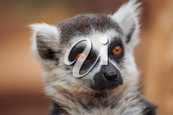 lemur. The monkey-nosed primate lives in Madagascar.