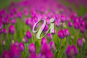 purple tulip fields are growing every year in the Netherlands