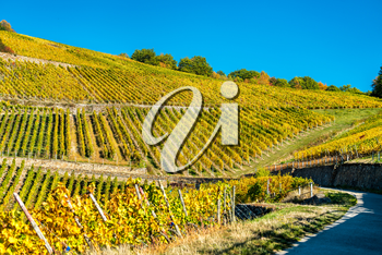 Rheingau vineyards at Assmannshausen in the Upper Middle Rhine Valley in autumn. Germany