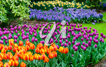Colorful tulips at the Keukenhof in the Netherlands. One of the world's largest flower gardens