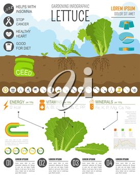 Gardening work, farming infographic. Lettuce. Graphic template. Flat style design. Vector illustration
