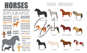 Horse breeding  infographic template. Farm animal. Flat design. Vector illustration