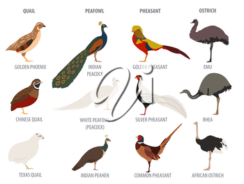 Poultry farming. Peafowl, ostrich, pheasant, quail breeds icon set. Flat design. Vector illustration
