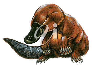 Royalty Free Clipart Image of a Platypus