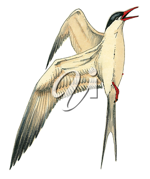 Royalty Free Clipart Image of a South American Tern