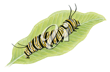 Royalty Free Clipart Image of a Monarch Caterpillar