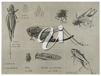 Royalty Free Clipart Image of a Cricket