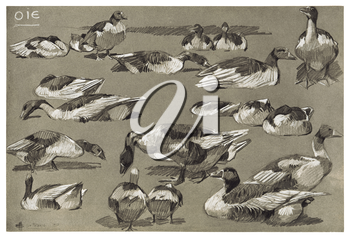 Royalty Free Clipart Image of Geese