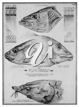 Royalty Free Clipart Image of Fish Heads