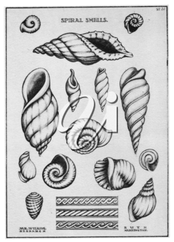 Royalty Free Clipart Image of Spiral Shells