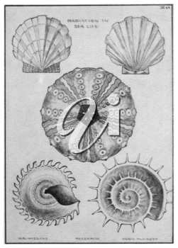 Royalty Free Clipart Image of Radiation Seashells