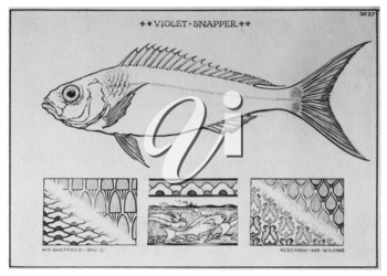 Royalty Free Clipart Image of a Snapper Fish