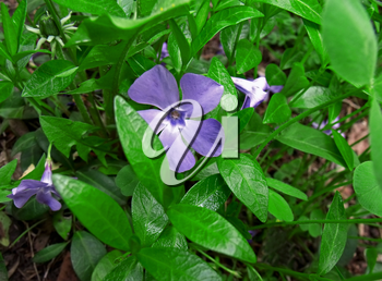 Three blossoming blue flower periwinkle between leaves