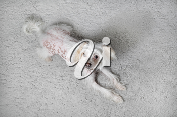 Chinese crested dog female lies on light gray fluffy carpet. Selective focus.