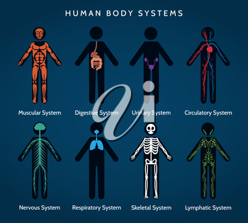 Human Body Anatomy. Skeletal and muscular, nervous and circulatory, lymphatic and digestive systems. Vector ilustration