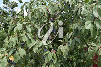 Prunes, ripen on the branches. Growing plums in the garden.