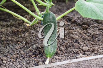 Seedlings cucumbers. The cultivation of cucumbers in greenhouses. Seedlings in the greenhouse. Growing of vegetables in greenhouses