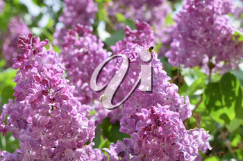Bombyliidae and bee on lilac. Beautiful purple lilac flowers outdoors. Lilac flowers on the branches