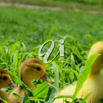 Ducklings of a musky duck. Three-day ducklings walk on a lawn.