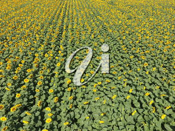 Field of sunflowers. Aerial view of agricultural fields flowering oilseed. Top view.