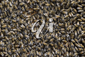 A dense cluster of swarms of bees in the nest. Working bees, drones and uterus in a swarm of bees. Honey bee. Accumulation of insects