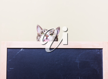 Curious, funny kitten shows tongue. The cat looks out from behind the chalkboard.