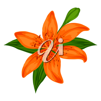 Illustration of blooming lily flower. Decorative beautiful plant.