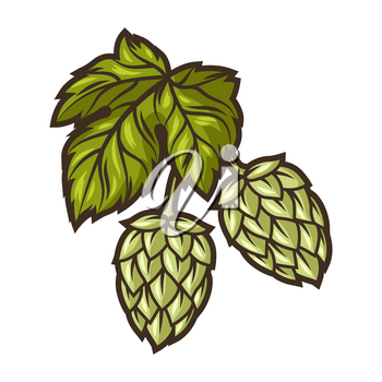 Illustration of hop. Object in engraving hand drawn style. Old decorative element for beer festival or Oktoberfest.
